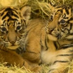 Tiger Cubs Update Disney's Animal Kingdom