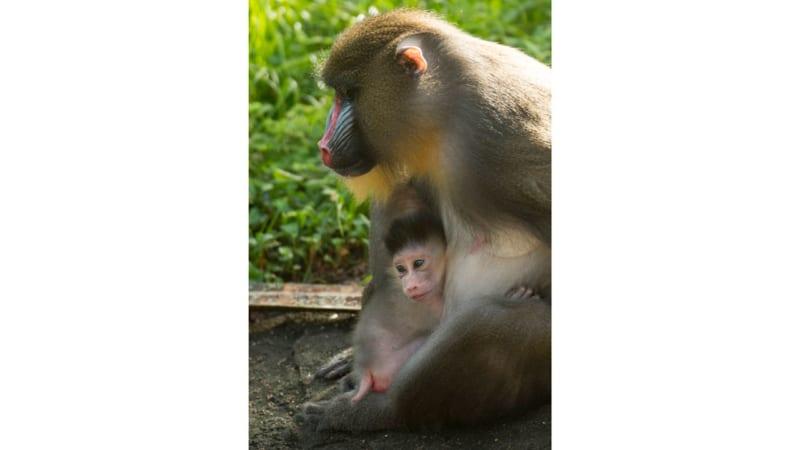 New Baby Mandrill Born in Disney's Animal Kingdom