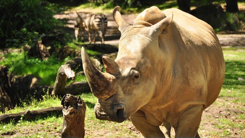 Up Close with Rhinos tour coming to Disney's Animal Kingdom