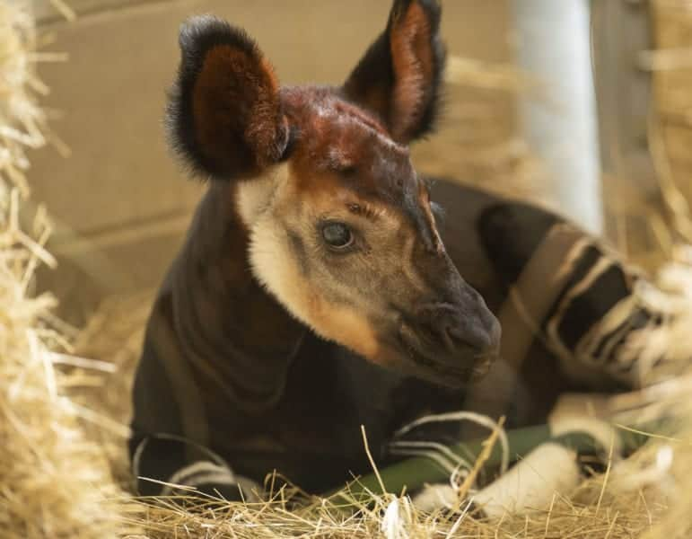 Baby Okapi Born in Disney's Animal Kingdom Lodge on World Okapi Day