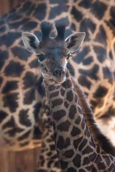 Disney's Newest Giraffe Calf Needs a Name Animal Kingdom