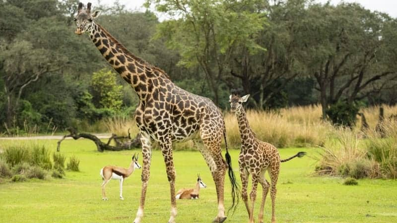 Meet Amira the Newest Calf in Disney's Animal Kingdom