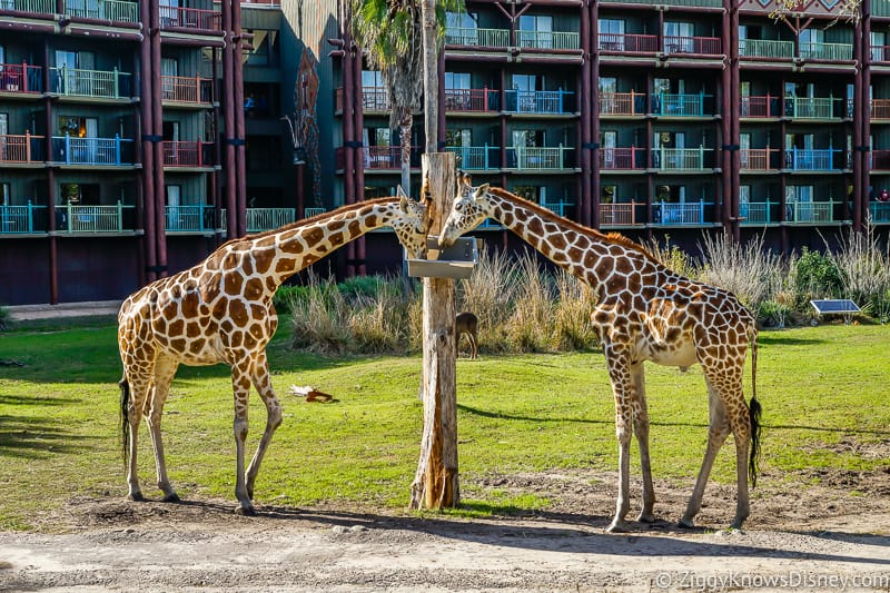 2 giraffes outside Disney's Animal Kingdom Lodge
