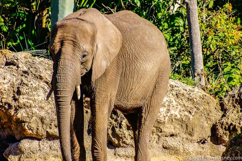 Elephant on Safari at Animal Kingdom