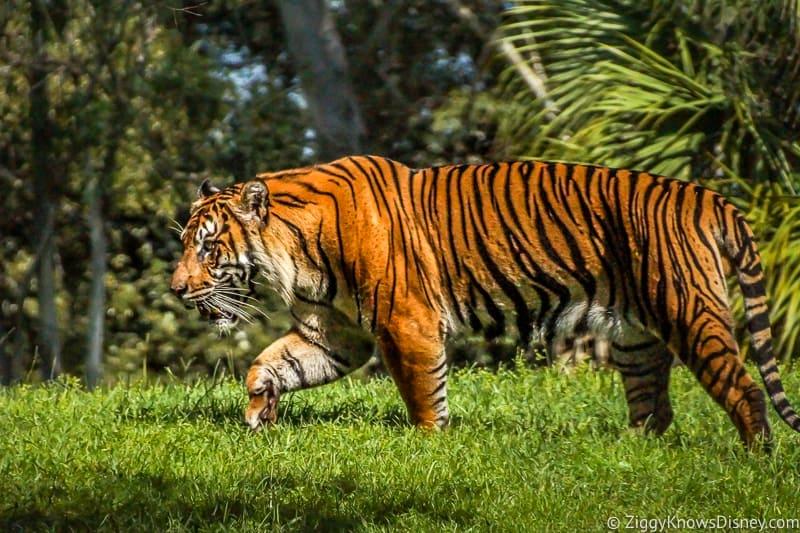 Tiger running at Animal Kingdom