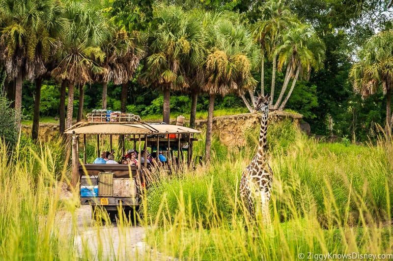 Giraffe looking at jeep going by on Kilimanjaro Safaris