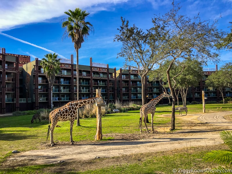 Disney's Animal Kingdom Lodge giraffes on the savanna