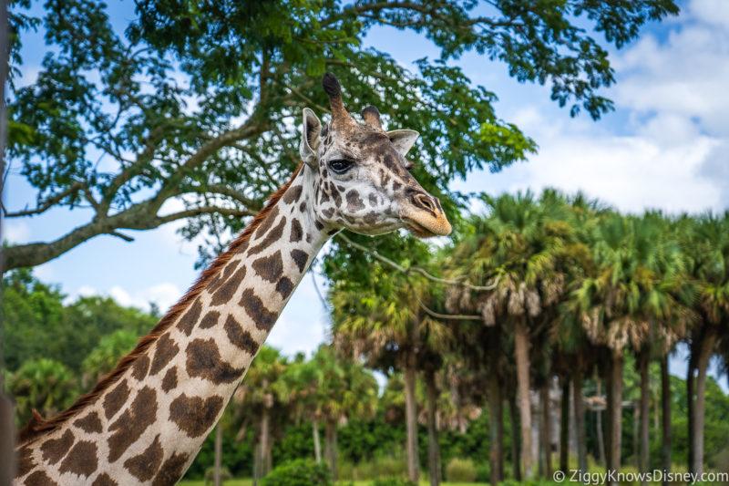 Giraffe Kilimanjaro Safaris
