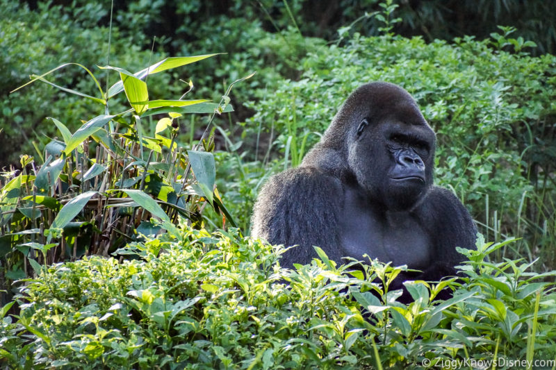 Gorilla Falls Exploration Trail Animal Kingdom