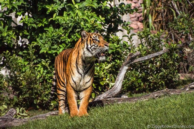 Maharajah Jungle Trek Animal Kingdom