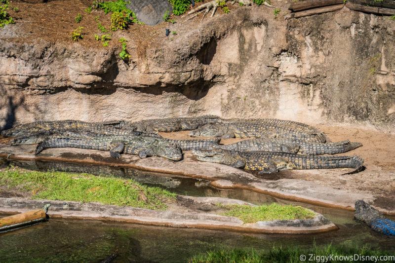 Crocodiles on Kilimanjaro Safaris